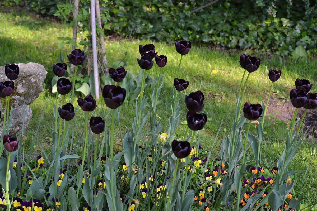 Selten gesehen - schwarze Tulpen