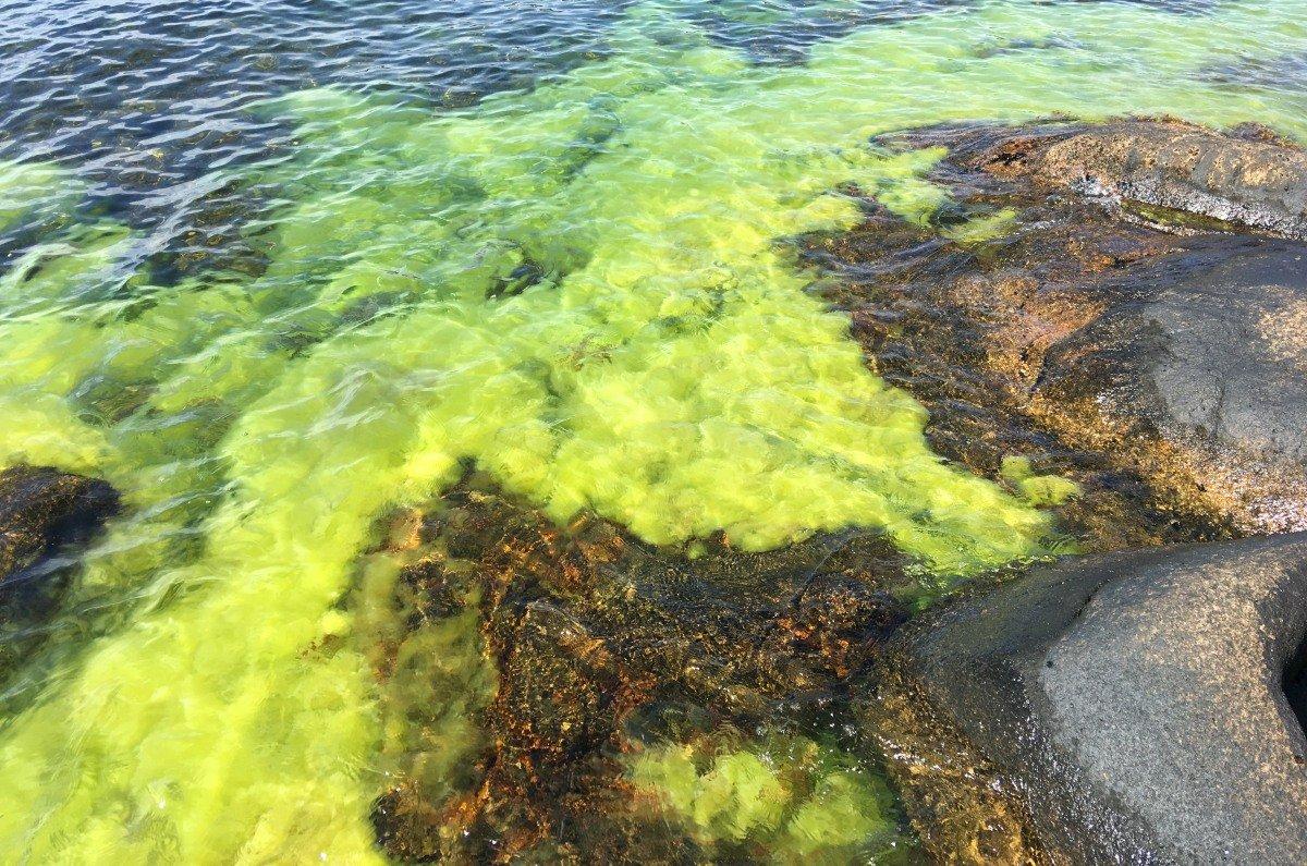 Limonengrüne Algen in den Schären