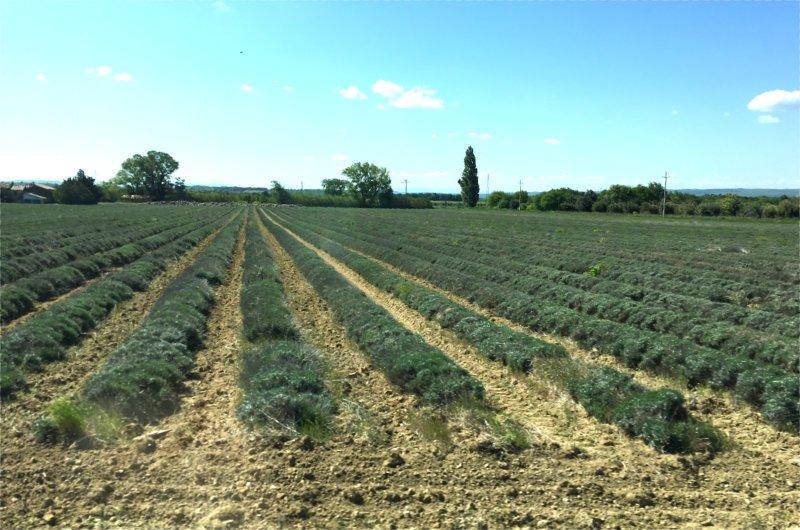 Lavendelfeld - noch nicht in der Blüte