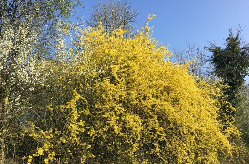Loef - Forsythien in voller Blüte