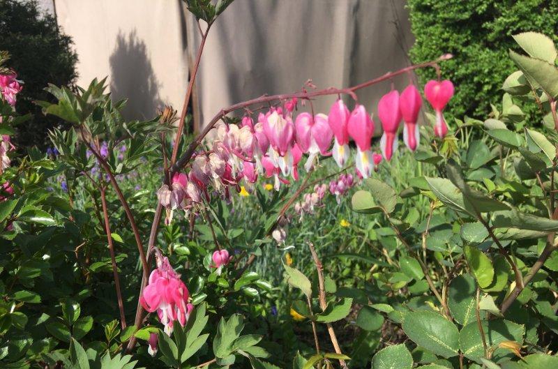 Tränende Herzen in einem Garten in Meckenbeuren