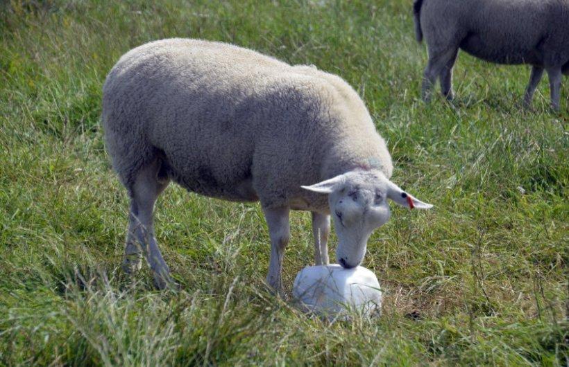 Schaf leckt am Salzstein