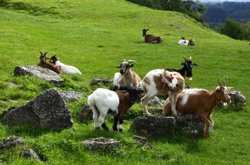 Die niedlichen und friedlichen Ziegen auf der Burgwiese