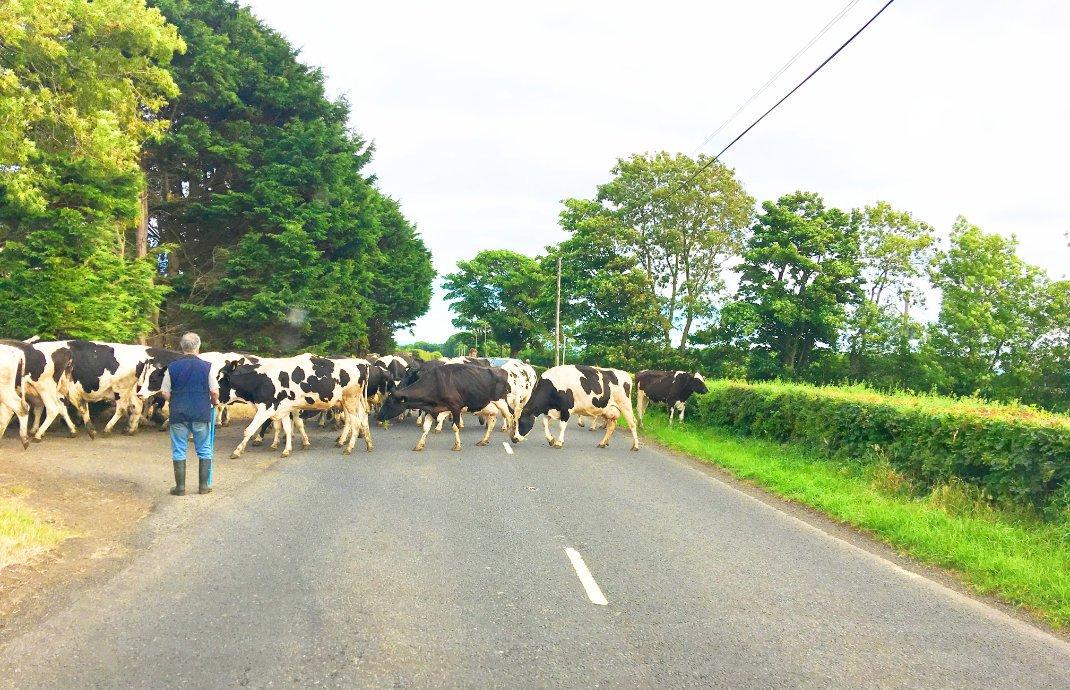 Kuhhindernis auf dem Weg nach Belfast