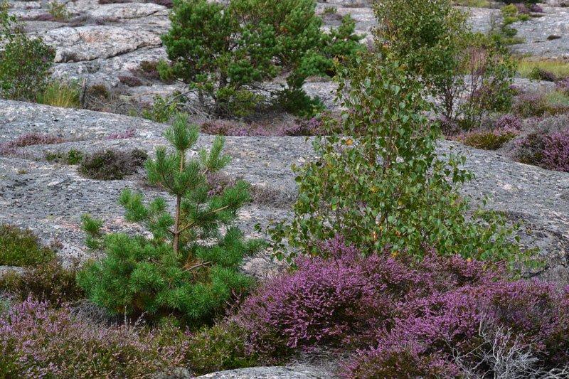 Heide, Kiefer und Birke in trauter Eintracht auf kargen Felsen