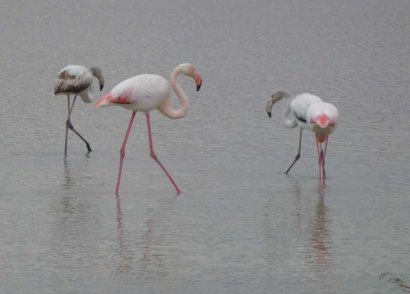 Flamingos in Sts Maries de la Mer