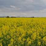Wunderschön gelb leuchtende Rapsfelder-(2)