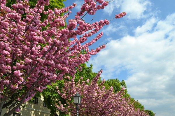 Kirschblüte - Cherry blossom