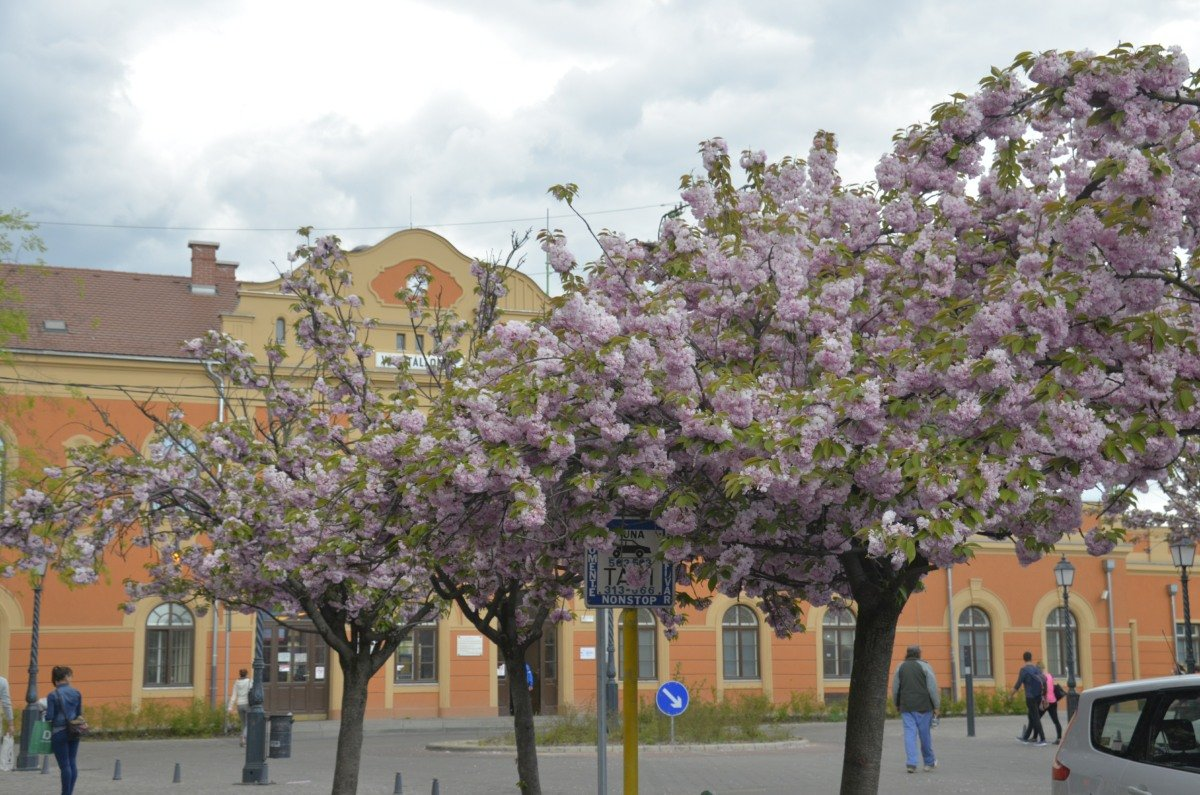 Kirschblüten vor dem Bahnhof