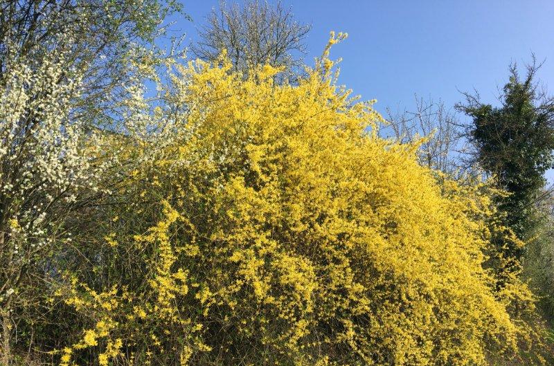 Loef - Forsythien in voller Blüte