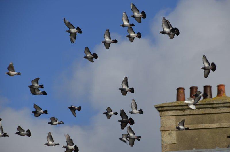 Taubenformationsflug