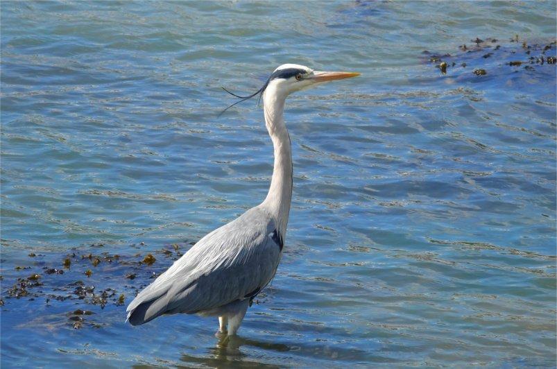 Dieser Graureiher fischte im Hafen von Kinsale