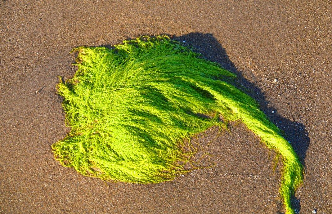 Nahaufnahme des grünen Seegrases