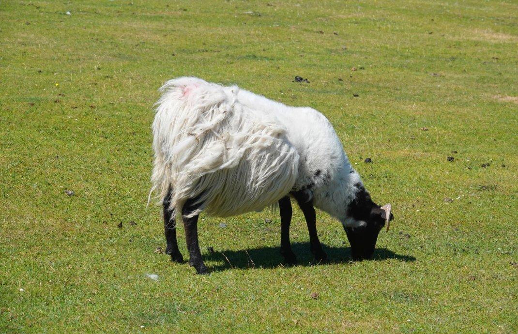 Dies Schaf hat fast die Hälfte seines Vlieses verloren
