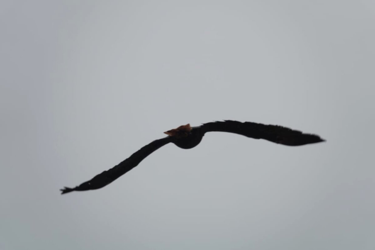 Weißkopfadler im Flug