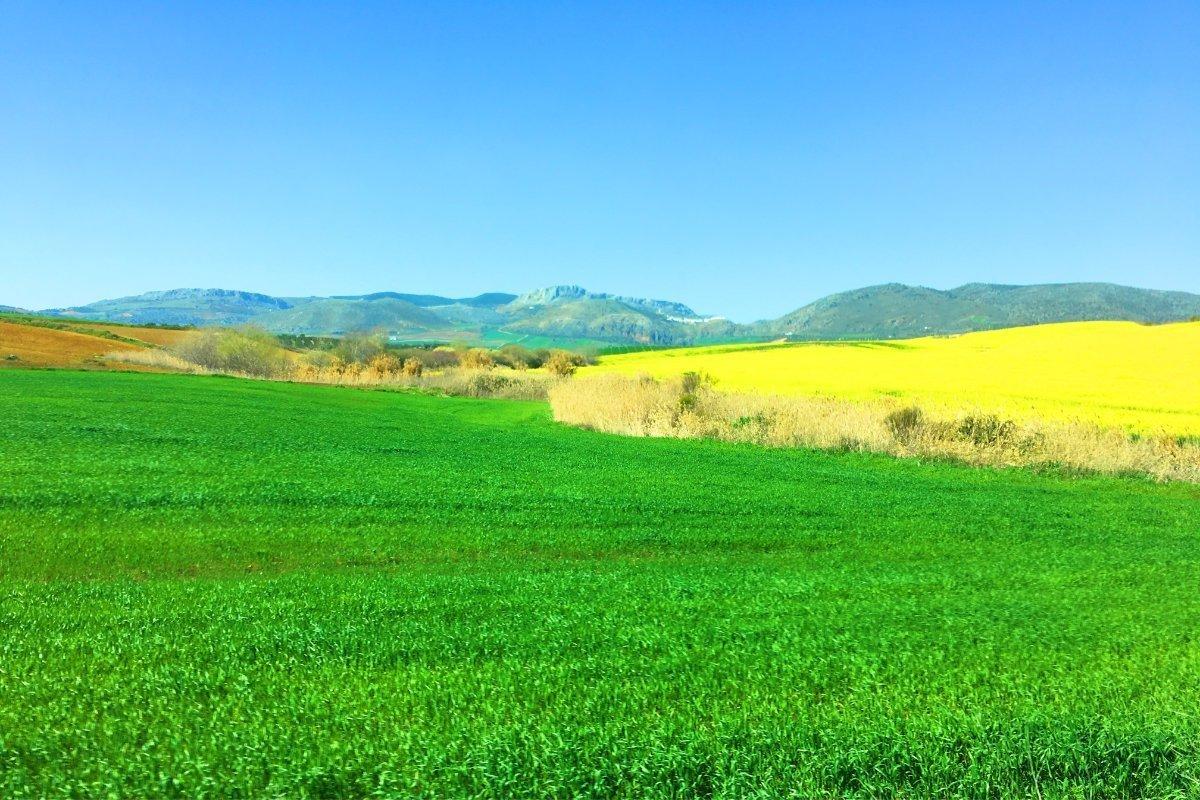 Blühender Raps Anfang März in Andalusien