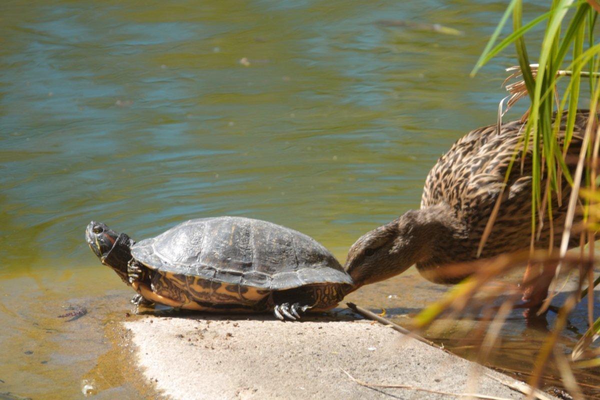 Ente mit Schildkröte
