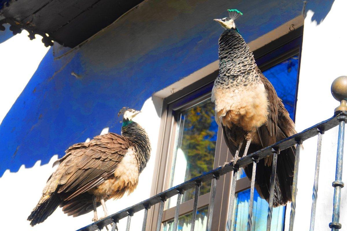 Zwei Pfauen auf einer Balkonbrüstung