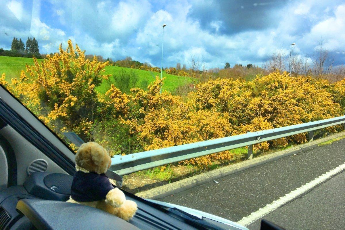 Viel Ginster entlang den Autobahnen