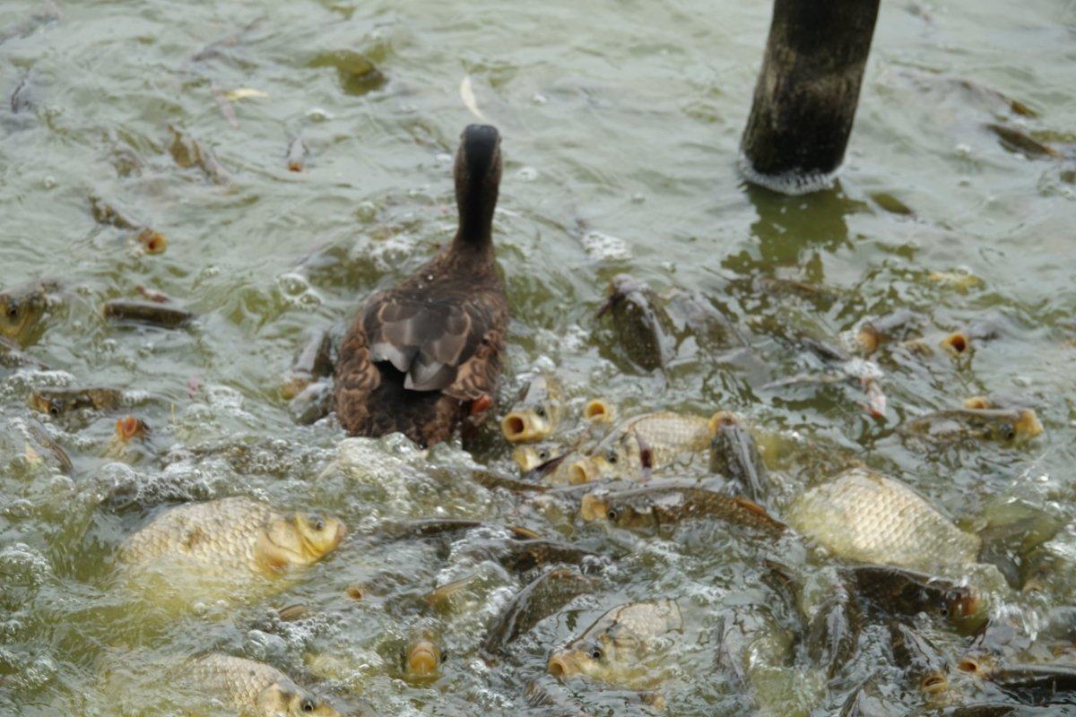 Karpfen, völlig außer sich und eine Ente mittendrin