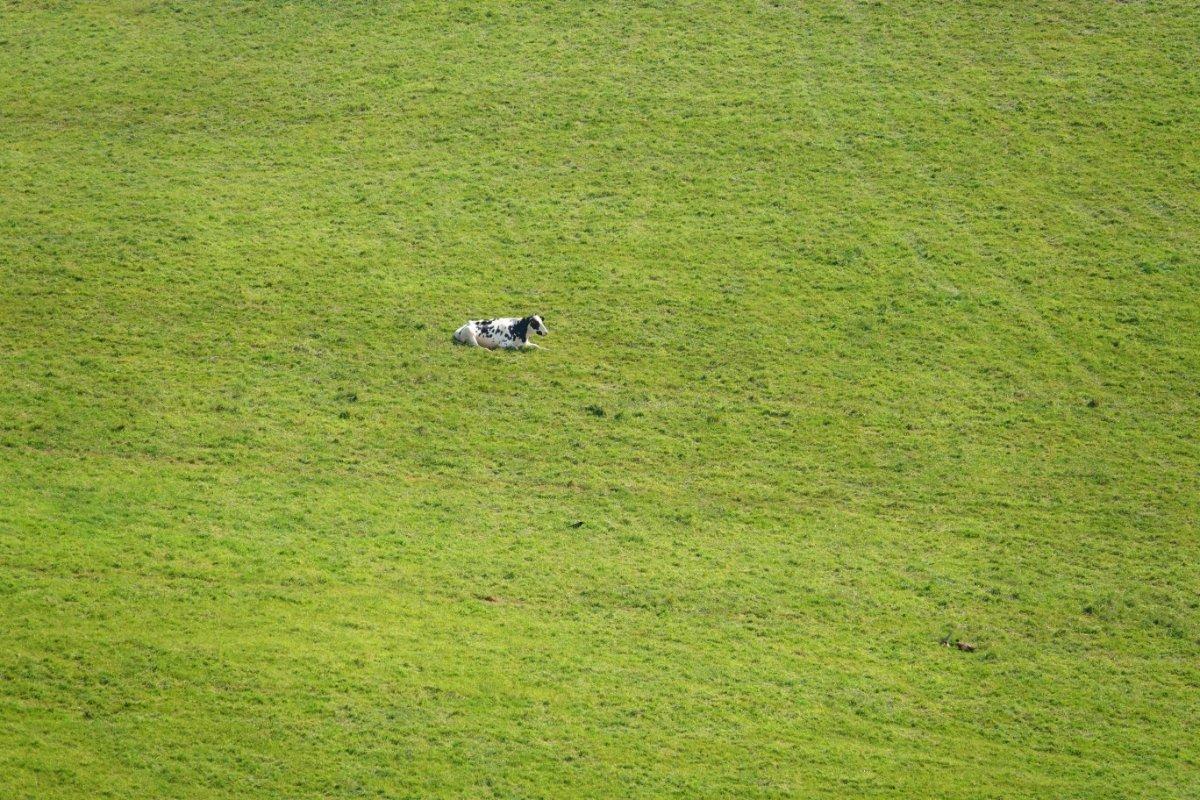 Einzige Kuh auf der riesigen Weide