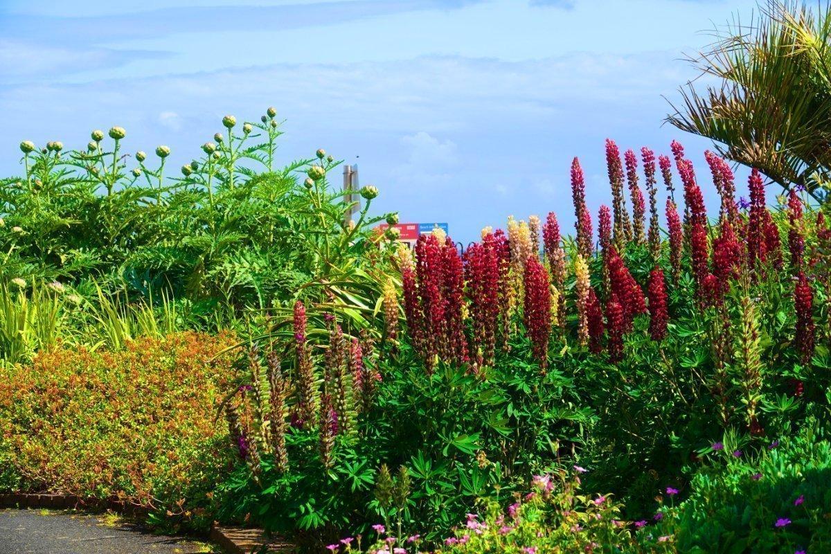 Lupinen im Queen Anne Garden an der Gyllingvase Beach