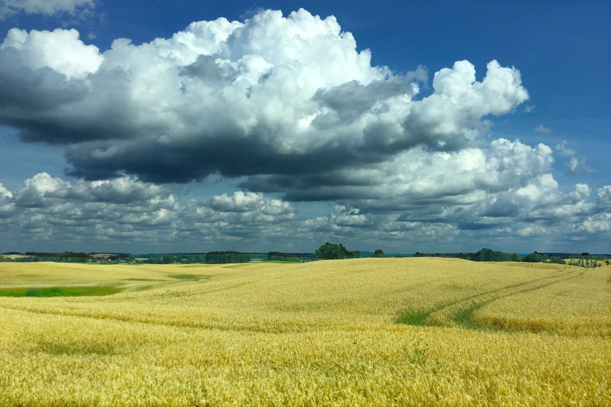 Goldene Getreidefelder entlang unserer Route (Foto Anne)