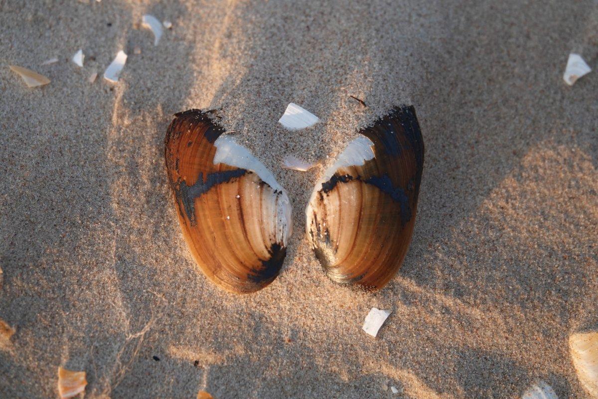 Muscheln in Schmetterlingsform