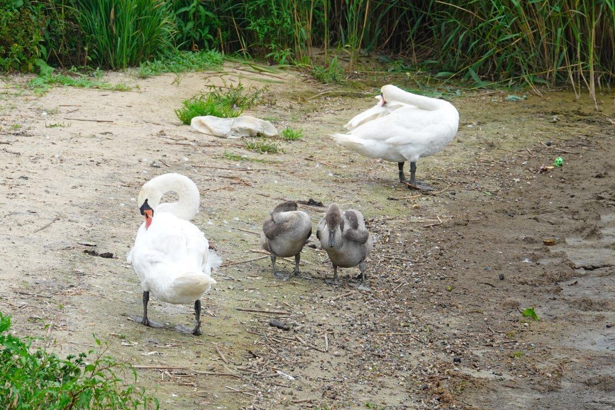 Schwanenfamilie, alle beim Gefiederputzen