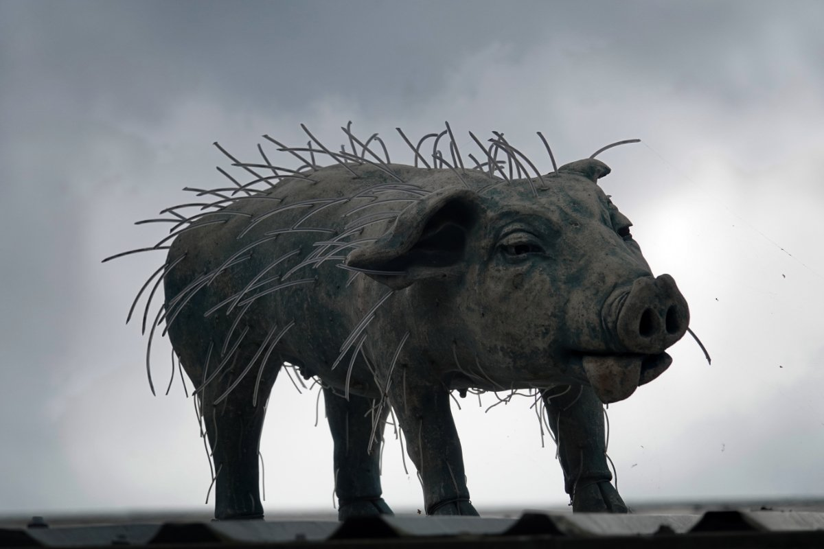 Schwein, gesehen unterwegs auf einem Dach in Roja