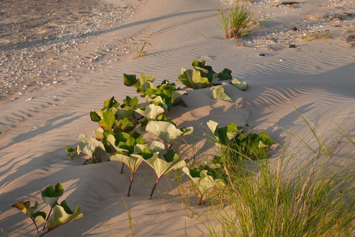 Strandbewuchs in Kap Kolka