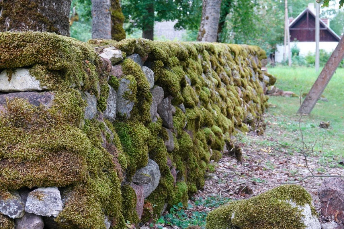 Fast komplett vermooste Natursteinmauer bei der Kirche in Liiva