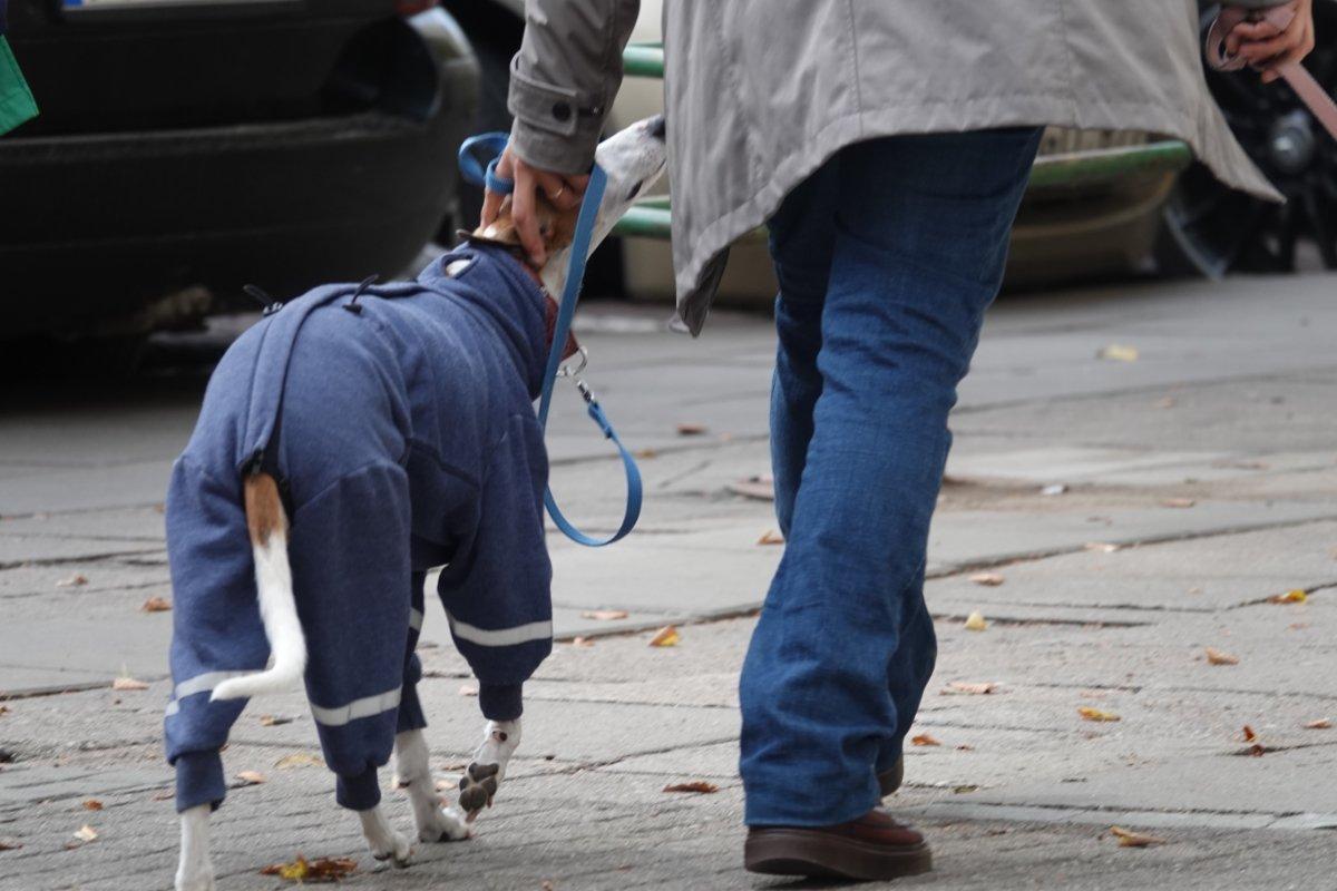 Gut eingepackter Windhund
