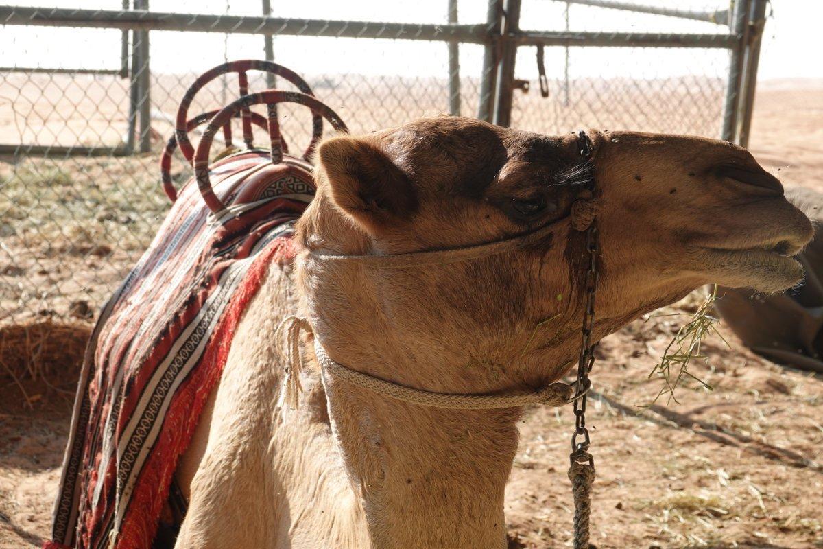 Kamel wartet auf Touristen