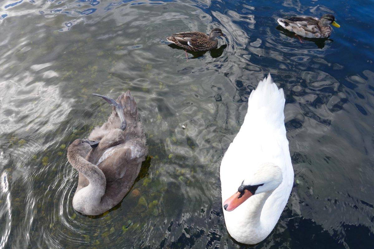 Schwan, Schwänlein und zwei Enten