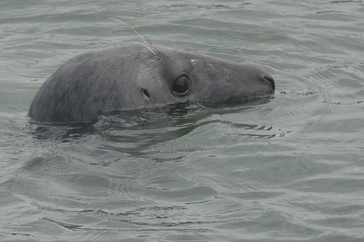 Willi, die Robbe im Hörnumer Hafen